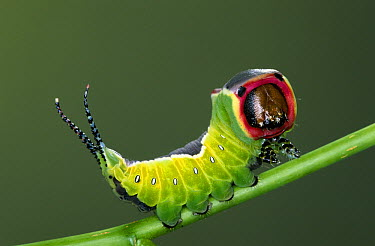 Puss Moth (Cerura vinula) on stem, Europe  -  Ingo Arndt