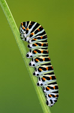 Oldworld Swallowtail (Papilio machaon) caterpillar on stem, Europe  -  Ingo Arndt