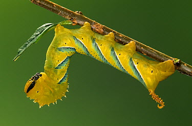 Death's Head Hawk Moth (Acherontia atropos) caterpillar, Europe  -  Ingo Arndt