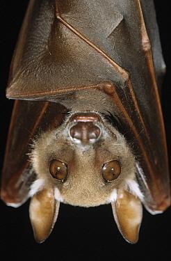 Buettikofer's Epauletted Bat (Epomops buettikoferi) close up of face  -  Ingo Arndt