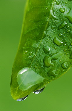 Water drops on leaf  -  Ingo Arndt