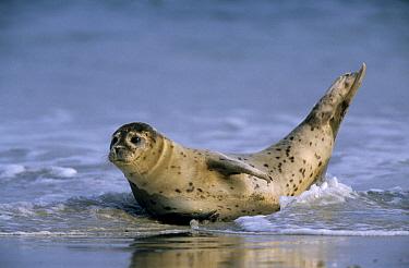 Common Seal (Phoca vitulina) on beach, Europe  -  Ingo Arndt
