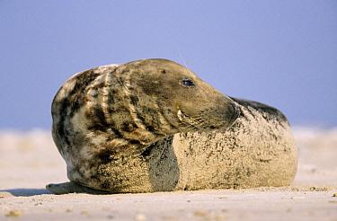 Grey Seal (Halichoerus grypus) on sandy beach, Europe  -  Ingo Arndt