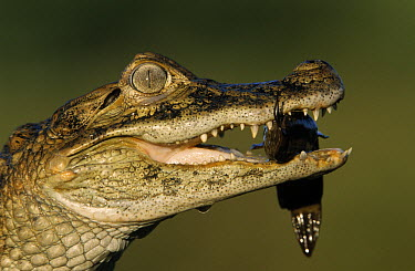Broad-snouted Caiman (Caiman latirostris) with catfish clasped in jaw  -  Ingo Arndt