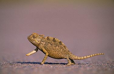 Namaqua Chameleon (Chamaeleo namaquensis) crossing road  -  Ingo Arndt