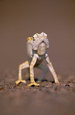 Namaqua Chameleon (Chamaeleo namaquensis) holds itself away from hot ground  -  Ingo Arndt