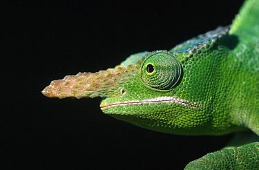 Giant Fischer Chameleon (Bradypodion fischeri) close up of head  -  Ingo Arndt