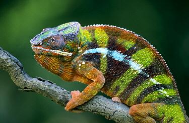 Panther Chameleon (Chamaeleo pardalis) male, Madagascar  -  Ingo Arndt