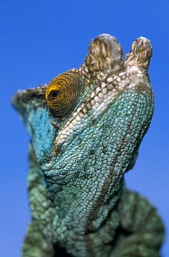Parson's Chameleon (Calumma parsonii) close up of head of male, Madagascar  -  Ingo Arndt