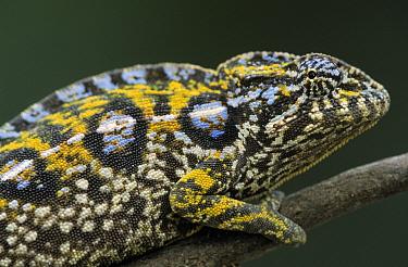 Jeweled Chameleon (Furcifer lateralis) close up of female on branch, Madagascar  -  Ingo Arndt