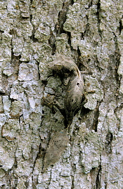 Fantastic Leaf-tail Gecko (Uroplatus phantasticus) with camouflaged coloration to match tree bark, Madagascar  -  Ingo Arndt