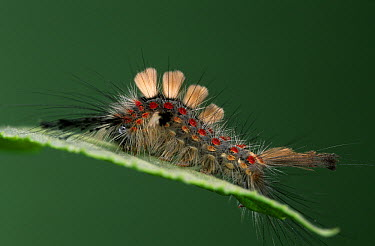 Rusty Tussock Moth (Orgyia antiqua) or Vapourer caterpillar, on leaf  -  Ingo Arndt