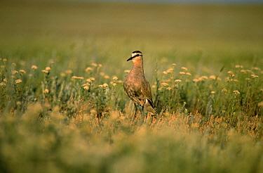 Sociable Lapwing (Vanellus gregarius) in grassland  -  Goetz Eichhorn/ NiS