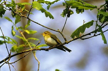 Wood Warbler (Phylloscopus sibilatrix) perched in tree, Europe  -  Frits van Daalen/ NiS