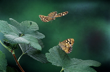 Speckled Wood (Pararge aegeria) butterfly pair, western Europe  -  Rene Krekels/ NIS