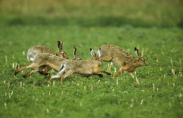 European Hare (Lepus europaeus) group running across pasture, Europe  -  Duncan Usher