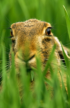 European Hare (Lepus europaeus) close up of face in tall, green grass, Europe  -  Duncan Usher