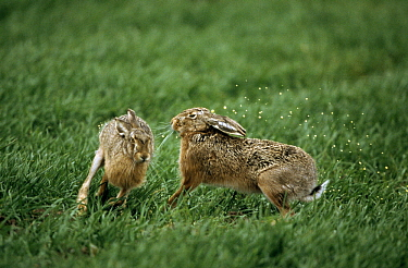 European Hare (Lepus europaeus) releases urine when interacting with another, Europe  -  Duncan Usher