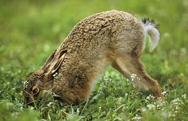 European Hare (Lepus europaeus) foraging, Europe  -  Duncan Usher