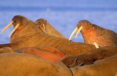 Atlantic Walrus (Odobenus rosmarus rosmarus) group resting, Spitsbergen, Svalbard, Norway  -  Rhinie van Meurs/ NIS