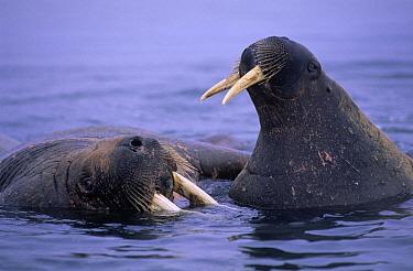 Atlantic Walrus (Odobenus rosmarus rosmarus) two in water, Spitsbergen, Svalbard, Norway  -  Rhinie van Meurs/ NIS