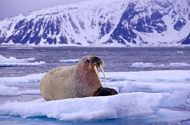 Atlantic Walrus (Odobenus rosmarus rosmarus) resting on ice floe, Spitsbergen, Norway  -  Rhinie van Meurs/ NIS