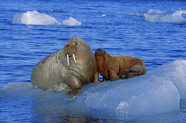 Atlantic Walrus (Odobenus rosmarus rosmarus) parent with young on ice floe, Spitsbergen, Norway  -  Rhinie van Meurs/ NIS