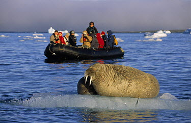 Atlantic Walrus (Odobenus rosmarus rosmarus) pair on ice floe observed by tourists in a zodiac, Spitsbergen, Svalbard, Norway  -  Rhinie van Meurs/ NIS