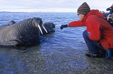 Atlantic Walrus (Odobenus rosmarus rosmarus) with tourist, Spitsbergen, Svalbard, Norway  -  Rhinie van Meurs/ NIS