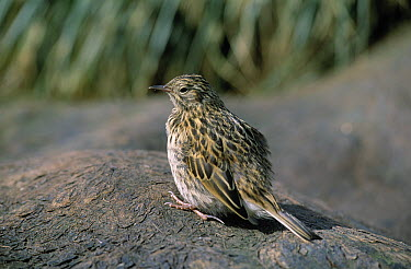 South Georgia Pipit (Anthus antarcticus) perched on mound, South Georgia Island  -  Rhinie van Meurs/ NIS