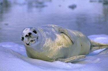 Crabeater Seal (Lobodon carcinophagus) resting on ice  -  Rhinie van Meurs/ NIS