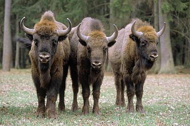 European Bison (Bison bonasus) three in field, Poland  -  Rhinie van Meurs/ NIS