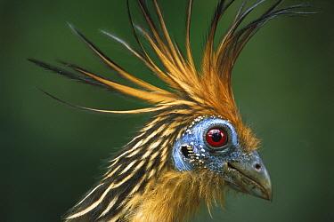 Hoatzin (Opisthocomus hoazin) portrait, South America  -  Flip de Nooyer