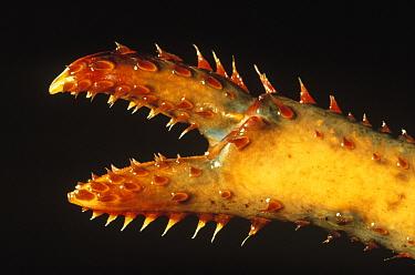 American Lobster (Homarus americanus) detail of claw  -  Ingo Arndt