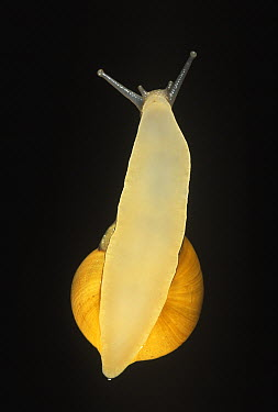 Snail (Helicidae) on glass, showing underside  -  Ingo Arndt
