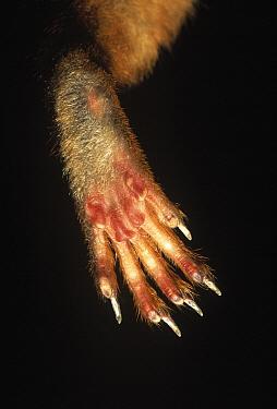 Eurasian Red Squirrel (Sciurus vulgaris) detail of foot  -  Ingo Arndt