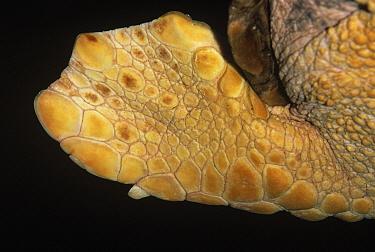 Loggerhead Sea Turtle (Caretta caretta) endangered, close up of flipper  -  Ingo Arndt