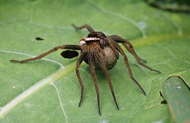 Raft Spider (Dolomedes fimbriatus) female carrying egg sac, Europe  -  Duncan Usher