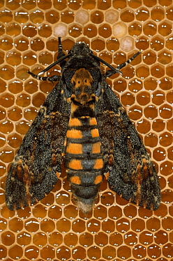 Death's Head Hawk Moth (Acherontia atropos) on honeycomb, adults frequently raid beehives to feed on honey, Europe, Africa and Madagascar  -  Duncan Usher