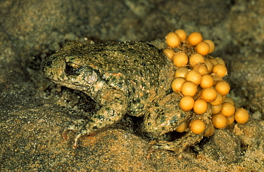 Midwife Toad (Alytes obstetricans) adult male carries eggs wrapped around his hind-legs until they hatch, Europe  -  Duncan Usher