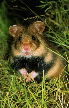 Common Hamster (Cricetus cricetus) adult at night, Europe  -  Duncan Usher