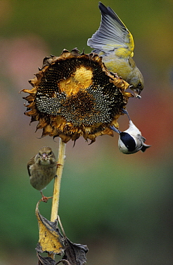 European Greenfinch (Chloris chloris) and Great Tit (Parus major) eating Sunflower Seeds, Europe  -  Duncan Usher