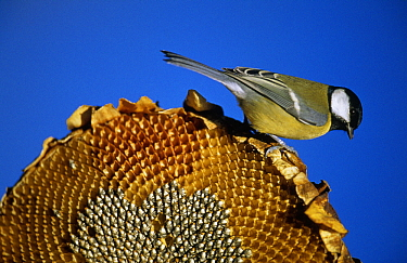 Great Tit (Parus major) on dried sunflower, Europe  -  Duncan Usher