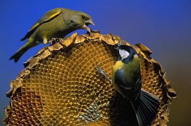 European Greenfinch (Chloris chloris) and Great Tit (Parus major) arguing over sunflower seeds, Europe  -  Duncan Usher