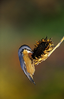 Wood Nuthatch (Sitta europaea) foraging for sunflower seeds, Europe  -  Duncan Usher