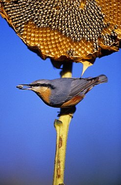 Wood Nuthatch (Sitta europaea) eating sunflower seed, Europe  -  Duncan Usher