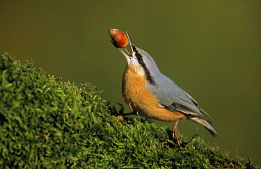 Wood Nuthatch (Sitta europaea) adult feeding on acorn, Europe  -  Duncan Usher