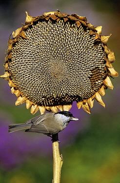 Marsh Tit (Parus palustris) adult eating sunflower seed, Europe  -  Duncan Usher