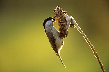 Marsh Tit (Parus palustris) adult foraging for sunflower seeds, Europe  -  Duncan Usher