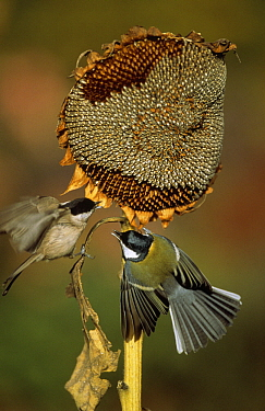Marsh Tit (Parus palustris) and Great Tit (Parus major) fighting over Sunflower Seeds, Europe  -  Duncan Usher